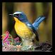 Full Kicau Burung Tledekan by Wulantini_Studio