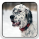English Setter Theme - Nova by Fun Apps and Themes