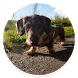 Dachshund Dog Wallpaper HD