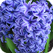Hyacinths Wallpapers by Dabster Software