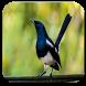 Kicau Burung Kacer by bedegapp