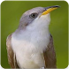 Yellow Billed Cuckoo Sound : Cuckoo Bird Song by Nic and Chloe Studio