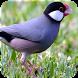 Suara Masteran Burung Gelatik by Majujayadut