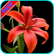 HD Lily Flower wallpaper by Nice Wallpaper