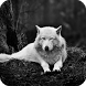 White Wolf Live Wallpaper by Empire Wallpapers