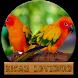 Kicau Lovebird Masteran Om by amily corp