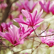 magnolia live wallpaper by best wallpaper inc
