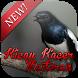 Kicau Kacer Masteran by slinkythedev