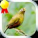 Masteran Burung Poksay by Jayakerta Bizz