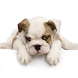 Guess The Puppy Breed Trivia by Angelo Gizzi