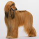 Afghan Hounds Wallpapers by fansofdogs