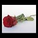 Rose Day Gif