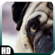 Pug Dog Wallpaper by MagicCreations