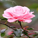 Lighting Pink Rose LWP by Daksh Apps