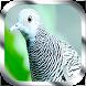 Kicau Burung Perkutut by Jayakerta Bizz