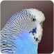Parakeet Bird Sounds : Budgerigar Sounds by Nic and Chloe Studio