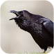 Crow Sounds by BLACKSWAN