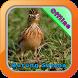 Kicau Burung Sanma by Iklil Studio