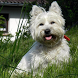 West Highland Terriers by arkadiykruglov