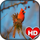Cardinal Bird Wallpaper HD by Ash Tech Apps
