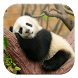 Lazy Panda Live Wallpapers by GL Live Wallpapers