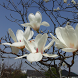 Japan:Magnolia kobus(JP221) by takemovies