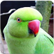 Indian Ringneck Parrot Sound: Rose-Ringed Parakeet by Nic and Chloe Studio