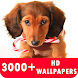 Dachshund Live Wallpapers HD