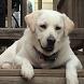Labrador Retriever Dog Jigsaw by redzpetz