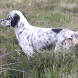 English Setter Dogs Puzzles by redzpetz