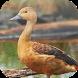 Suara Burung Belibis by Mhmapp Studio