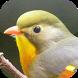 Kicau Burung Robin by KicauApp