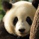 live wallpaper panda by Dark cool wallpaper llc