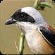 Suara Burung Cendet Gacor : Masteran Cendet Gacor by Nic and Chloe Studio