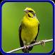Master Kicau Burung Mozambik Terbaru Offline Jos by speed apps