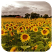 SunFlower Live Wallpaper by Amazing Live Wallpaperss