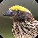 Suara Burung Manyar by Mhmapp Studio