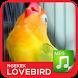 Lovebird Ngekek Kicau Master by Majujayadut
