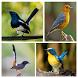 Suara Burung Untuk Memikat by Smanxar Studio