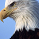 Bald Eagle Puzzle by puzzlemeoy