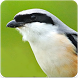 Shrike Bird Song : Long Tailed Shrike Bird Sound by Nic and Chloe Studio