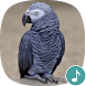 Appp.io - African Grey Parrot Sounds by Appp.io