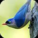 Suara Burung Rambatan by Mhmapp Studio