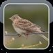 Eurasian Skylark Bird Sounds HQ by The Best App Inc