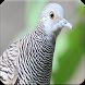 Masteran Perkutut : Suara Burung Perkutut Manggung by Nic and Chloe Studio