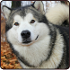 Siberian Husky Wallpaper 2015 by AcrDev