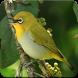 Oriental White Eye Bird Sound : White Eye Singing by Nic and Chloe Studio