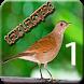 Sabiá Laranjeira Canto Flauteado by Raja Burung App