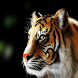 Tiger Wallpapers by pames