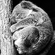Koala Taking A Nap LWP by solar trap studio